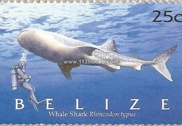 belize whale shark rhincodon typus 25c