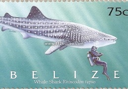 belize whale shark rhincodon typus 75c